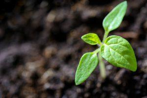 Kaljenje semena konoplje - kalitev semena