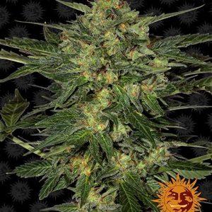 Barney's Farm LSD
