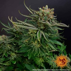 Barney's Farm Orange Sherbert
