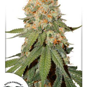 Dutch Passion Orange Bud
