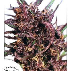 Dutch Passion Purple #1