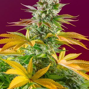 Gorilla Girl F1 Fast Version Sweet Seeds