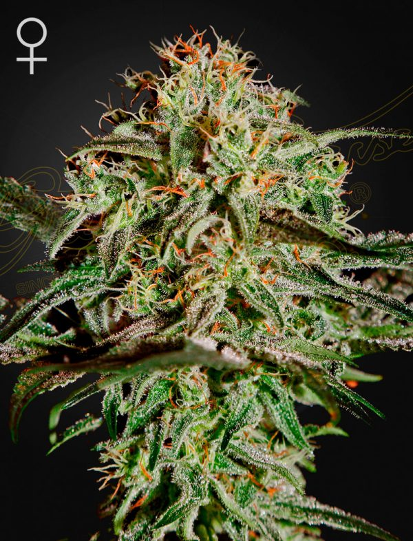 Green House Seeds A.M.S.