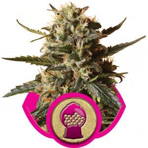 Bubblegum XL Royal Queen Seeds