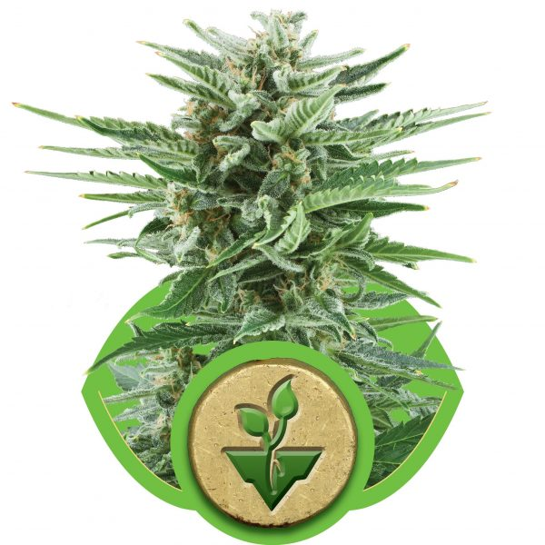 Easy Bud Automatic Royal Queen Seeds