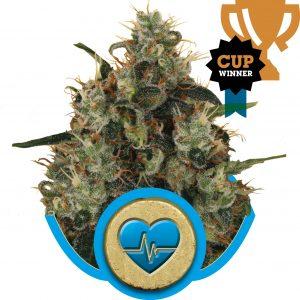 Medical Mass CBD Royal Queen Seeds