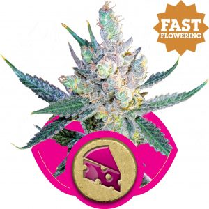 Royal Cheese (Fast Flowering) Royal Queen Seeds