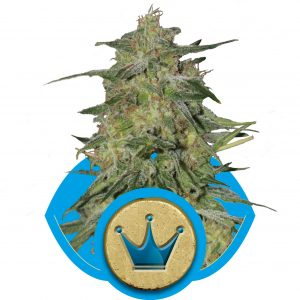 Royal Highness CBD Royal Queen Seeds